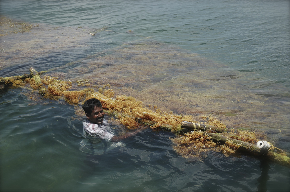 Indian seaweed farmer and crop in its natural environment pic
