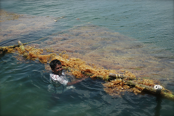 seaweed raft for cultivation sustainable